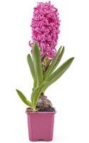 Hyacint růžový, květináč hranatý 7x7cm