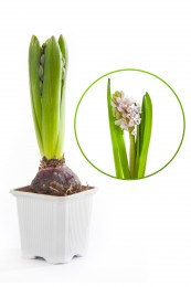 Hyacint bílý květináč, hranatý 7x7cm