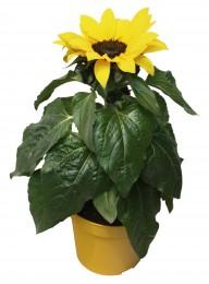 Slunečnice, Ø květináče 12 cm