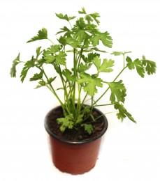 Petržel hladkolistá - venkovní sazenice, Ø květináče 9 cm