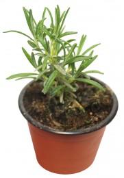 Rozmarýn - venkovní sazenice, Ø květináče 9 cm