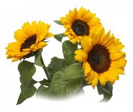 Slunečnice vázané 3ks - délka 60 cm