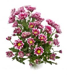 Chryzantémy žíhané fialové bílé vícekvěté vázané 5ks - délka 45 cm