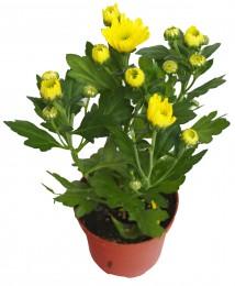 Chryzantéma žlutá, Ø květináče 9cm