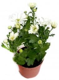 Chryzantéma bílá, Ø květináče 9cm