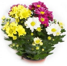 Chryzantémy mix barev - 3 výhony, Ø květináče 12cm