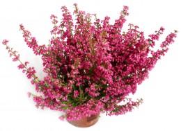 Vřes Erika růžová, Ø květináče 11cm