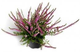 Vřes Kaluna růžová, Ø květináče 11cm