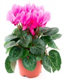 Brambořík růžový, Ø květináče 10cm