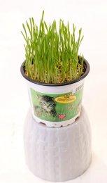 Kočičí tráva v květináči (průměr květináče 12cm)