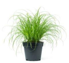 Kočičí tráva Ø12cm