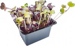 Microgreens - ředkvička, vanička