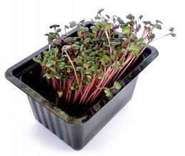 Microgreens - růžové zelí, vanička