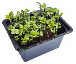 Microgreens - pikantní hořčice, vanička