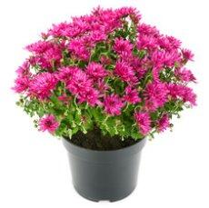 Chryzantéma řízená mix barev Ø květináče 12 cm