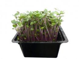 Microgreens - růžový kedluben, vanička