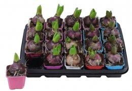 Hyacint mix barev, květináč hranatý 7x7cm
